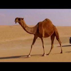 فرينسي حفل زواج سعد & سلطان بن نايف القعدان بالنعيرية