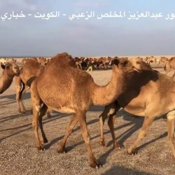 ابل / ناصر بن حمود ال دشر الزعبي – رويبغ